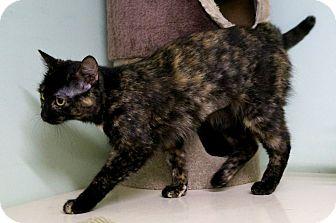 Domestic Shorthair Cat for adoption in Murphysboro, Illinois - Joan Jett