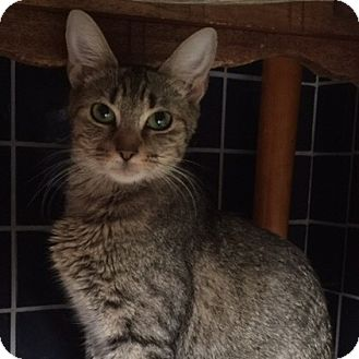 Domestic Shorthair Cat for adoption in Great Mills, Maryland - Cersei