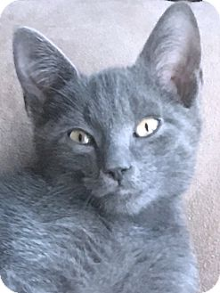 Domestic Shorthair Kitten for adoption in Prospect, Connecticut - Tom