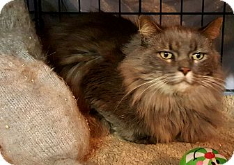 Maine Coon Cat for adoption in brewerton, New York - nikki is a bobtail main coon