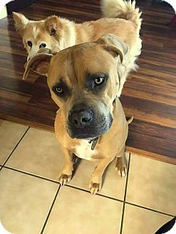 American Pit Bull Terrier Mix Dog for adoption in Yuba City, California - Kapone