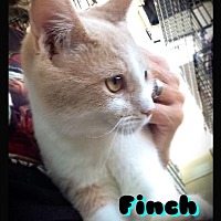 Domestic Shorthair Cat for adoption in Hartford City, Indiana - Finch
