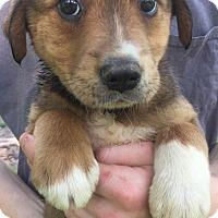 Adopt A Pet :: Mandy - SOUTHINGTON, CT