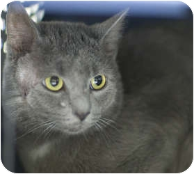 Domestic Shorthair Cat for adoption in Chicago, Illinois - Gary