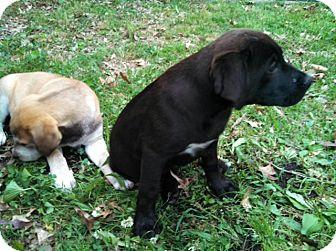 Labrador Retriever Mix Puppy for adoption in Homewood, Alabama - Rudy