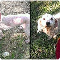 Adopt A Pet :: Karita - Spring Branch, TX