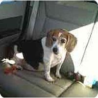 Adopt A Pet :: Benna - Phoenix, AZ