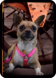 Chihuahua Dog for adoption in Brooksville, Florida - Mimi