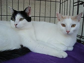 Domestic Shorthair Cat for adoption in Berkeley, California - Bonnie and Emmy