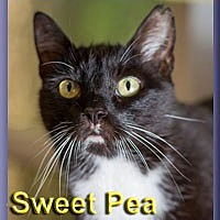 Domestic Shorthair Cat for adoption in Aldie, Virginia - Sweet Pea