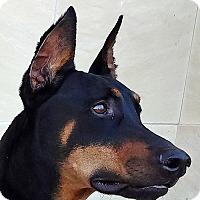 Adopt A Pet :: Diesel - Las Vegas, NV