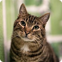 Domestic Shorthair Cat for adoption in Lincoln, California - Bug
