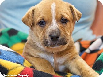 Australian Shepherd/Labrador Retriever Mix Puppy for adoption in Chattanooga, Tennessee - Bruiser