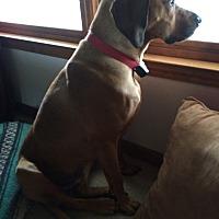 Black Mouth Cur Mix Dog for adoption in Atlanta, Georgia - walker