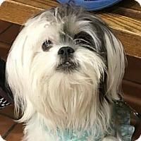 Adopt A Pet :: Luna (Lulu) - Chicago, IL