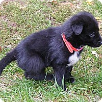 Adopt A Pet :: Ebony - Rigaud, QC