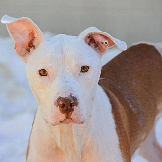 Staffordshire Bull Terrier/Boxer Mix Dog for adoption in bridgeport, Connecticut - Jersey