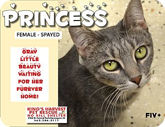 Domestic Shorthair Cat for adoption in Davenport, Iowa - Princess FiV+