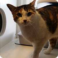Calico Cat for adoption in Nashville, Tennessee - Autumn