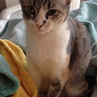 Domestic Shorthair Cat for adoption in St. Louis, Missouri - Sedona