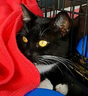 American Shorthair Cat for adoption in Lyons, Illinois - Simon