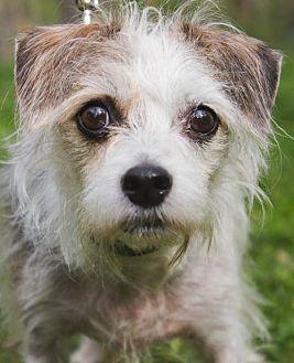 Terrier (Unknown Type, Medium)/Shih Tzu Mix Dog for adoption in Asheville, North Carolina - Windy