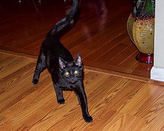 Domestic Shorthair Kitten for adoption in Jerseyville, Illinois - Shadow