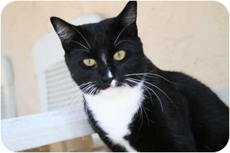 Domestic Shorthair Cat for adoption in Naples, Florida - Tiki