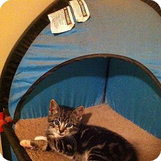 Domestic Shorthair Kitten for adoption in Pittstown, New Jersey - Shamy