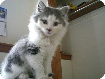 Domestic Longhair Kitten for adoption in Byron Center, Michigan - Noelle