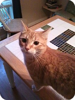 Domestic Mediumhair Cat for adoption in Houston, Texas - Woody