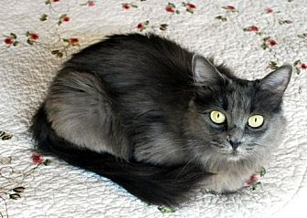 Domestic Longhair Cat for adoption in Auburn, California - Betsy
