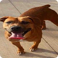Adopt A Pet :: LOLA - Norman, OK