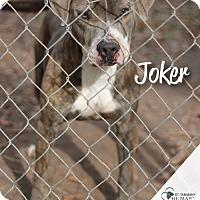American Pit Bull Terrier Mix Dog for adoption in Covington, Louisiana - Joker
