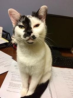 Domestic Shorthair Cat for adoption in Columbia, South Carolina - Tilly