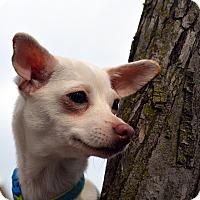 Adopt A Pet :: Mercedes-Adoption pending - Bridgeton, MO
