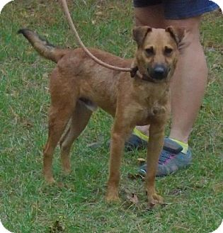 Black Mouth Cur/Terrier (Unknown Type, Medium) Mix Dog for adoption in Jefferson, Texas - Piney