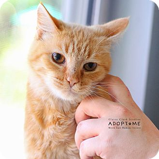 Domestic Shorthair Cat for adoption in Edwardsville, Illinois - Pumpkin