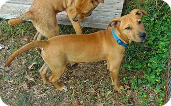 Labrador Retriever Mix Puppy for adoption in Seattle, Washington - Niki