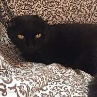 Domestic Shorthair Cat for adoption in Alexandria, Virginia - Posh