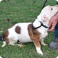 Adopt A Pet :: Flash Puppy - Pompton Lakes, NJ