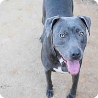 Blue Lacy/Texas Lacy Mix Dog for adoption in Atlanta, Georgia - QUEENIE