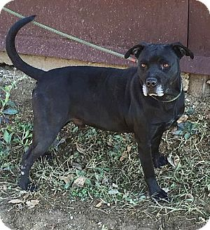 Labrador Retriever/Pit Bull Terrier Mix Dog for adoption in Demopolis, Alabama - Bradley