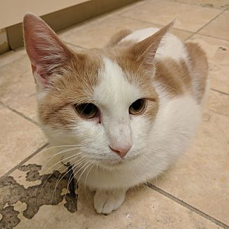 Domestic Shorthair Cat for adoption in The Colony, Texas - Earin