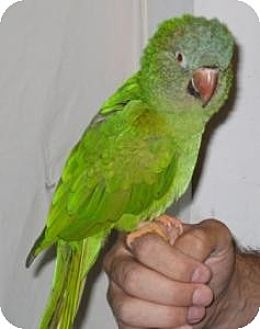 Conure for adoption in Northbrook, Illinois - Kirby