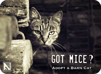 Domestic Shorthair Cat for adoption in Trinidad, Colorado - Barn Cats