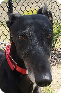 Greyhound Dog for adoption in Longwood, Florida - AMF Hard To Find