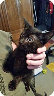 Domestic Shorthair Kitten for adoption in Breinigsville, Pennsylvania - Simon