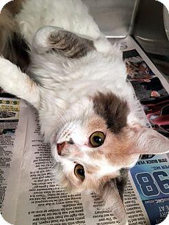 Calico Cat for adoption in Las Vegas, Nevada - Abby