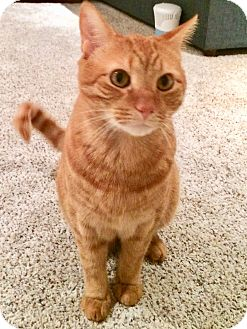 Domestic Shorthair Cat for adoption in Colmar, Pennsylvania - Pete